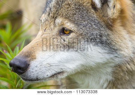 Close-up portrait of a wolf head
