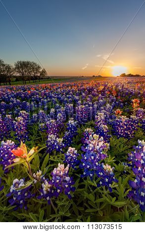 Texas Wildflower -  Bluebonnet And Indian Paintbrush Field In Sunset In Sunset