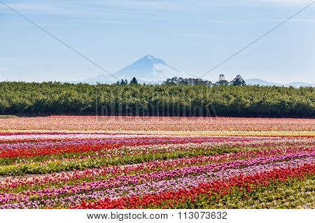 Colorful Tulip Field And Mt. Hood