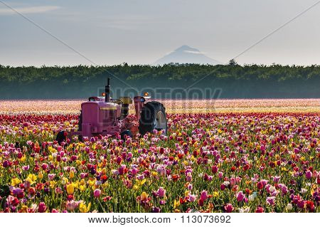 Tractor In Colorful Tulip Filed In Woodburn, Oregon