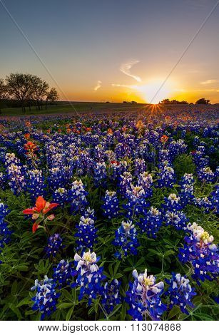 Texas Bluebonnet And Indian Paintbrush Filed In Sunset
