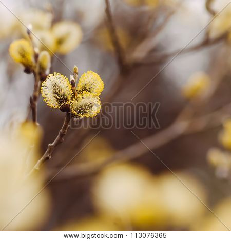 Pussy-willow background copyspace
