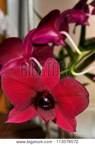 Bordeaux orchidee