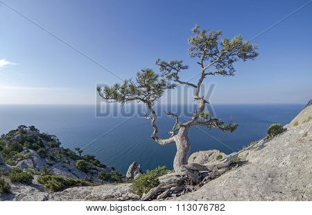 Relic Pine In The Rocks On The Seashore.