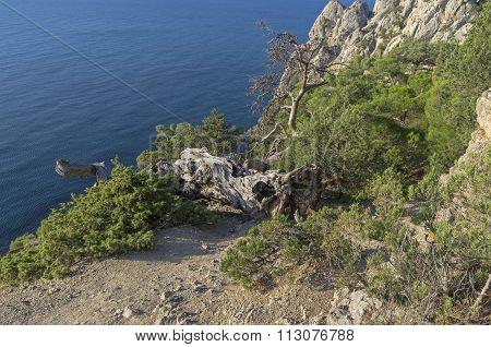 Fallen Relict Pine. Crimea.