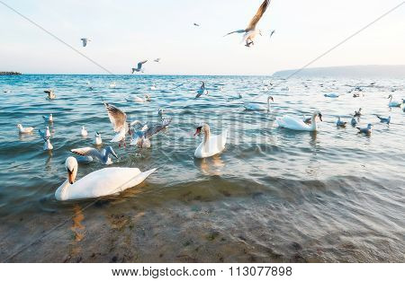 Birds Swans White And Seagulls On The Shore