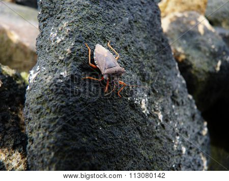 shield bug on a black rock
