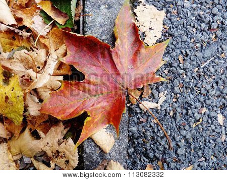 red sycamore leaf on ground fall