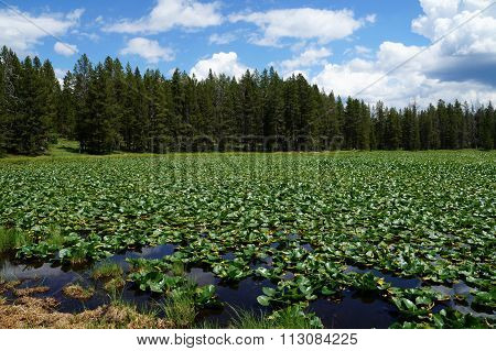 Teton NP. Swan Lake densely covered with water lily pads.