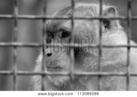 Caged baboon looking pensive in a cage