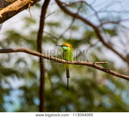 Green Bee eater.
