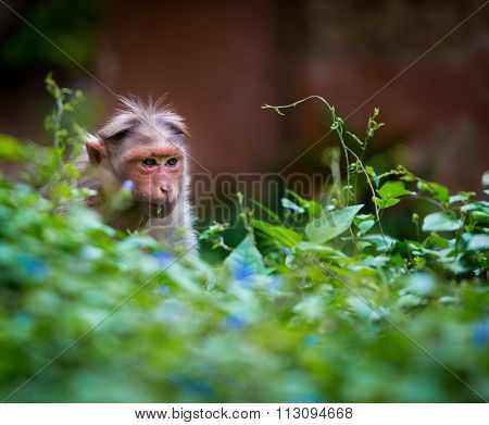 Bonnet Macaque, one of the Banyan Tree Troop Bangalore, India