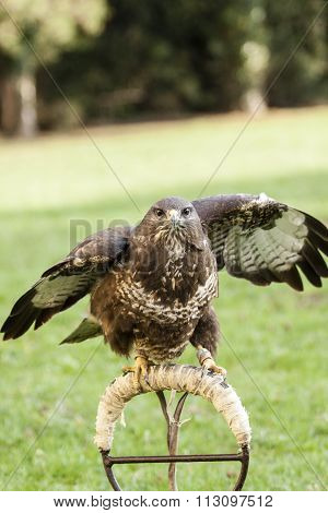 kestrel bird with green background - prepared for fly