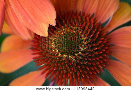 Echinacea Macro Photo