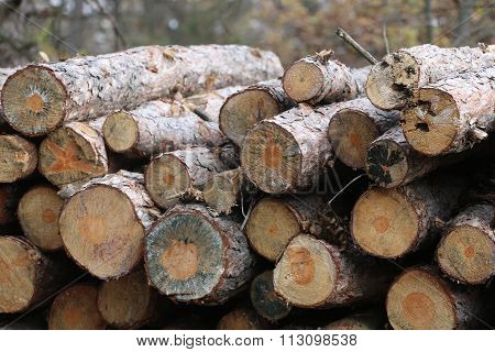 Tree Stumps In Autumn Forest In Row
