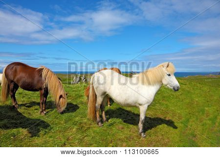 Iceland in the summer. Herd of beautiful horses. Well-groomed horses grazing in a meadow near the farm