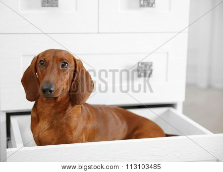 Dachshund dog sitting in chest of drawers in living room