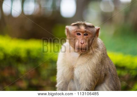 Bonnet Macaque, one of the Big Banyan Tree Troop India.