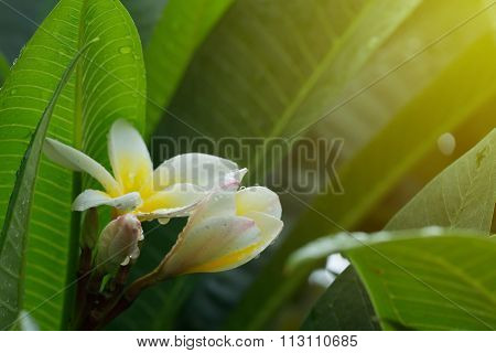 White Frangipani Plumeria Tropical Flower With Water Drops In Rainy Day