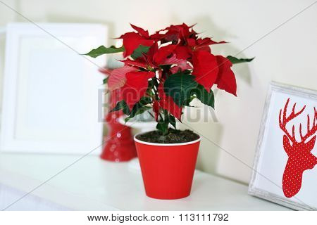 Christmas flower poinsettia and decorations on shelf, on light background