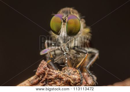 Macro shot face to face of a robber fly with prey