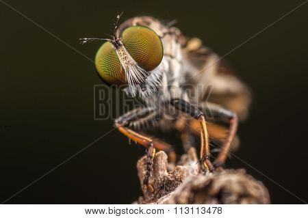 Macro shot of a robber fly with face to face.