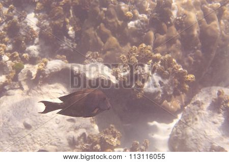 Acanthuridae are the family of surgeonfishes, tangs, and unicornfishes.
