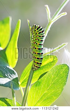 Caterpillar Butterfly Papilio Machaon Linnaeus, Hvostonosets Swallowtail