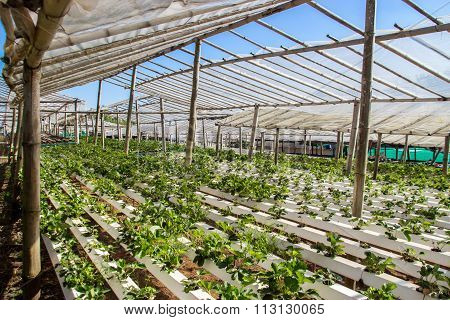 Vegetable In Plastic Pipe Of Hydroponic Concept