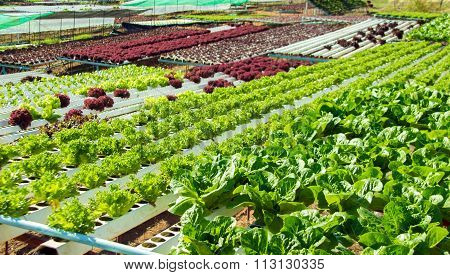 Vegetable In Plastic Of Hydroponic Concept