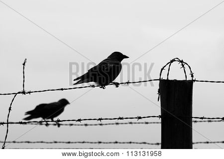 Two crows on the barb wire fence