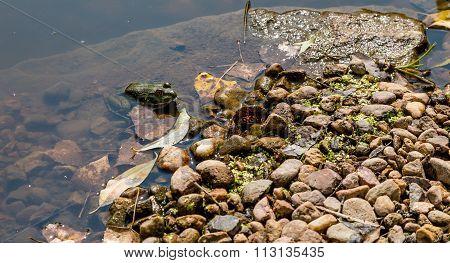 Green Frog On Edge Of Stream