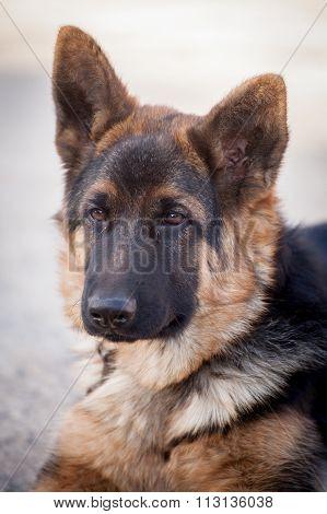 Cute German Shepherd Dog Posing