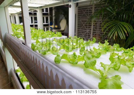 Hydroponic vegetables at indoor