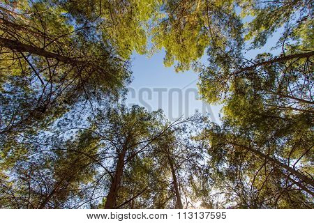 Looking Cedar Forest .