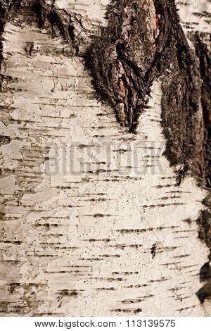 Birch Bark Texture