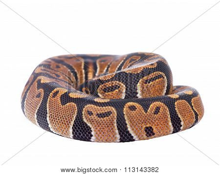 Royal Python Python Regius Isolated