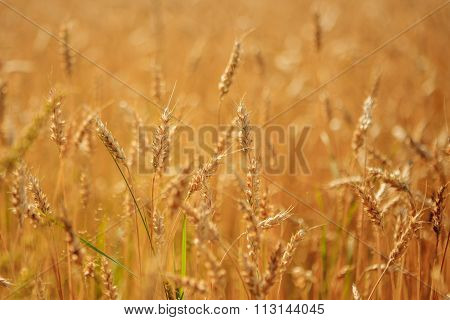 Golden Wheat Field Ready To Harvest