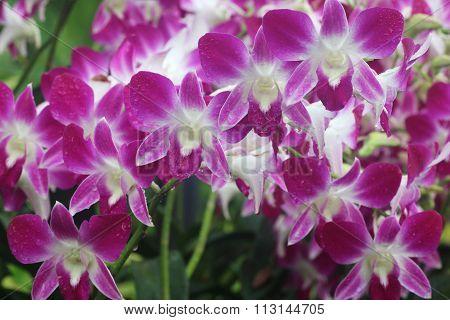 Dendrobium Sonia 1
