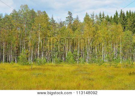 Natural Forest Bog In Latvia