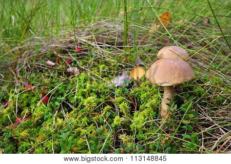 Cranberries And Mushrooms Growing In The Bog. Latvia