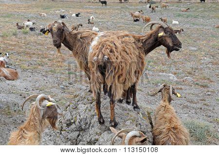 Domestic  Goats