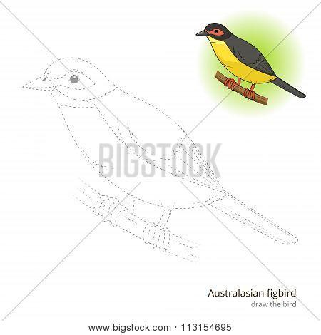 Australasian figbird bird learn to draw vector