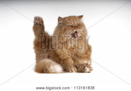 Persian Cat He Is Scratching On White
