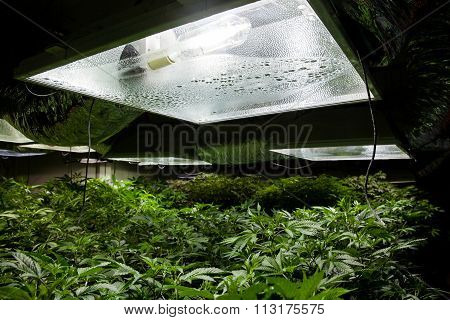 marijuana under lights