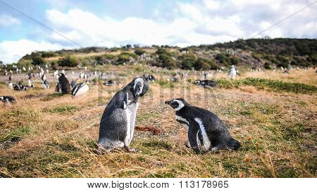 The penguins of Martillo
