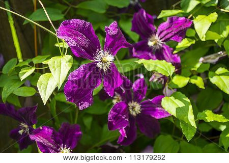 Blossoming purple clematis