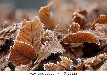 Brown Frozen Leaves