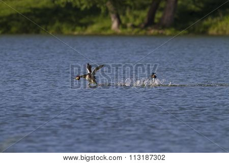 Great Crested Grebe In Mating