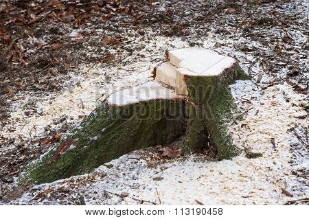 Stump In The Forest. After Felling A Tree Stump